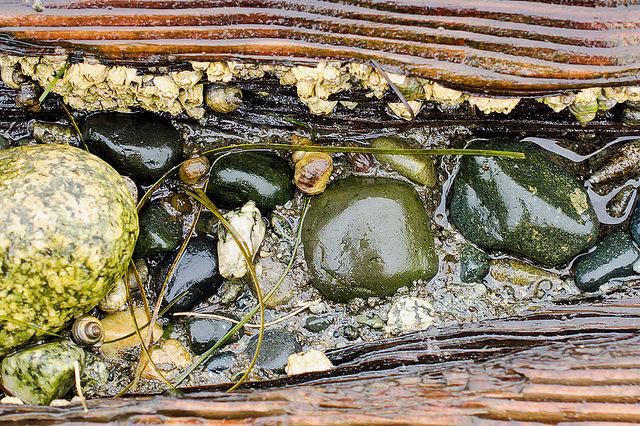 Intertidal invertebrates in a rotting log on Boundary Bay beach. Photo by Susannah Anderson.