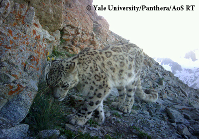 The first of three snow leopards captured using camera traps in the Hissar Range of Tajikistan. Photo courtesy of the author.