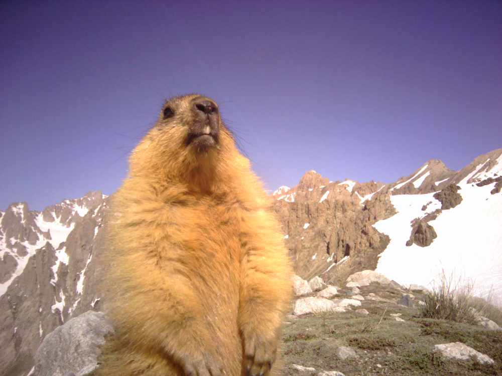 A red marmot poses for a selfie in the Karatag gorge. Red marmots are an important part of the snow leopard's diet in this region. Photo courtesy of the author.