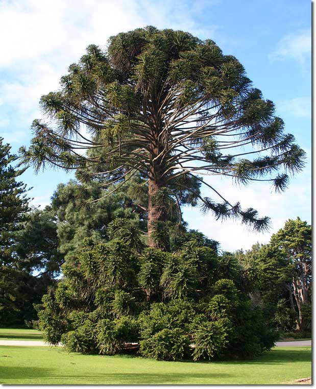 A mature Bunya pine tree. Photo credit: Byron Joel